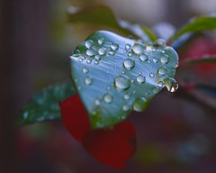 Apres la pluie…. (TiLacaz) Tags: flower leaf droplets rainfall green home closeup nature 7dwf macro