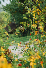 especially in the Autumn III (culuthilwen) Tags: sonyalpha230 supertakumar takumar takumar35mmf2 f2 takumar35mm 35mm m42 vintagelens autumn bokeh foliage forest leaves dof blurry berries red green yellow nature vscofilm00 sonysti