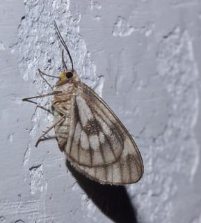 Moth IMG_6366