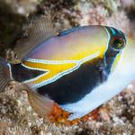 Wedgetail Triggerfish, juvenile - Rhinecanthus rectangulus thumbnail
