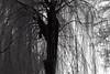 Trauerweide im Winter (____jR) Tags: cold baum winter blackwhite trauerweide schnee