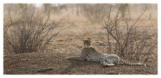 2016 10 16_Cheetah-2