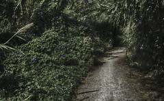 Dark road (josemiguelforteaparicio) Tags: background beauty black bloom blossom bokeh botany closeup day flora flower flowering flowers focus foreground forest fragility freshness garden green growth head image inside macro natural nature nobody out outdoors over path petal purple selective single sparse standing white
