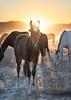 wild horse sunset11 (Jami Bollschweiler Photography) Tags: wild horse onaqui herd utah wildlife colt filly teeth youngster child west desert great basin sunset sage silhouette purple orange