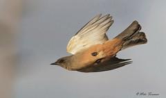 Say's Phoebe (Sayornis saya) (Mike Forsman) Tags: nature animal bird phoebe flight bif birdinflight flying noisy heavycrop nikond7100 300mmf4dafs saysphoebe sayornissaya flycatcher mikeforsman