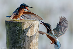 Kingfisher (Alcedo atthis) females fighting (Richard Nicoll) Tags: kingfisher wickenfen nationaltrust naturereserve cambridgeshire commonkingfisher wicken uk alcedoatthis burwell england unitedkingdom gb