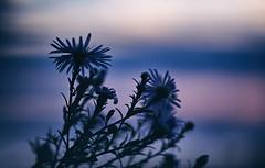 Ich bin nicht sicher, ob Astern oder See auf den jeweils anderen abgefärbt haben, aber zwischen so viel Einklang liegt es sich ganz gut. (Manuela Salzinger) Tags: herbst autumn abend evening sonneuntergang sunset bodensee lakeconstance