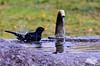 Le bain du merle. (Diegojack) Tags: saintsulpice vaud suisse merle fontaine plage pélican bains gouttes oiseaux