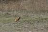 20171008-DSC_1042 (pjvermaas) Tags: yellowmongoose wakkerstroom zoogdieren