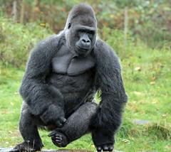 western lowlandgorilla Jambo Apenheul BB2A8975 (j.a.kok) Tags: gorilla westelijkelaaglandgorilla westernlowlandgorilla lowlandgorilla laaglandgorilla aap ape primate primaat mensaap mammal monkey afrika africa zoogdier dier herbivore jambo apenheul
