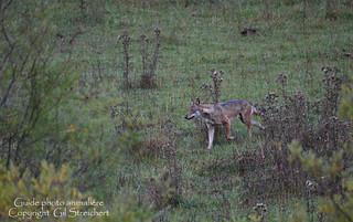 Loup en chasse