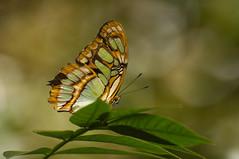 Malachietvlinder - Malachite (Den Batter) Tags: nikon d7200 blijdorp dierentuin zoo vlinder butterfly malachietvlinder malachite sipoetrastelenes