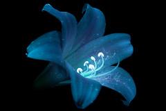 Amaryllis 4 s (C. Burrows) Tags: uvivf flower botany nature amaryllis
