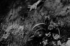 Escargot en noir et blanc (Lenaprof) Tags: 7daysofshooting week18 nature blackandwhitewednesday