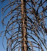 (thedailyjaw) Tags: sequoianationalforest trees d610 ribcage nature life lifeless bare dry texture branches spine nationalpark drought