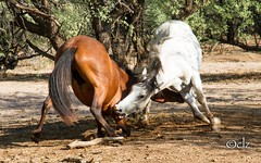 Lower Salt River Wild Horses - Explore Nov. 8, 2017 (velo_city) Tags: 2017 arizona wildlife wild wildhorses mustangs mustang wildhorse free wildandfree tontonationalforest wildwest horse horses lowersaltriver fighting
