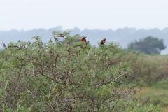 Loica (Sturnella loyca) (Andres Bertens) Tags: bird loica canoneos70d canonef70200mmf4lisusm rawtherapee 2485 elyali
