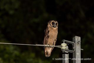 褐林鴞 IMG_2112