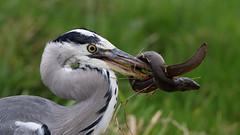 Harry spent the afternoon tying knots.  {explored} (Cosper Wosper) Tags: greyheron ardeacinerea eel fight food
