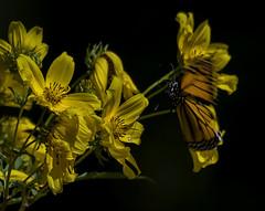 MonarchButterfly_SAF1013-2 (sara97) Tags: danausplexippus butterfly copyright©2017saraannefinke endangered insect missouri monarchbutterfly nature outdoors photobysaraannefinke pollinator saintlouis towergerovepark flight inflight monarch