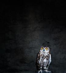 Owl Eyes (relishedmonkey) Tags: nikon d5300 owl eyes big orange background animal bird zoo 35mm 18g portrait colour wings feathers eagle fowl