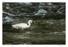 L'Allier sauvage - Aigrette garzette (BerColly) Tags: france auvergne puydedome allier oiseau bird river fishing fich péche poisson capture aigrette riviere bercolly google flickr
