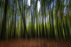 HOLLAND (WeVe1) Tags: blurred forest moved gelderland justplaying speulderensprielderbos dancingtrees wald trees foret bos woud