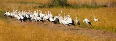 Ooievaars / Stork (Meino NL) Tags: ooievaar stork vogel ciconiaciconia ciconiidae bird aves cigogne cigüeña costabrava ricefield rijstveld pals