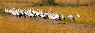 Ooievaars / Stork