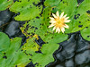 Water lily (dayonkaede) Tags: narcissus nature jump rain yellow swamp olympus em1markii m40150mm f28