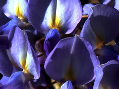 WISTERIA up close (Lani Elliott) Tags: nature naturephotography lanielliott flower flowers wisteria purple mauve color colourful colour pretty garden homegarden macro upclose close closeup macrounlimited light bright superb fantastic excellent beautiful awesome gorgeous brilliant