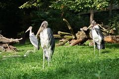 Zoo Duisburg (Magdeburg) Tags: duisburg zooduisburg afrikanischer marabu marabou stork afrikanischermarabu maraboustork leptoptilos crumenifer leptoptiloscrumenifer störche ciconiidae