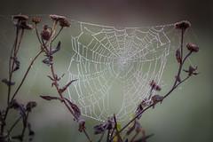 autumn wonders (Emma Varley) Tags: web dew autumn plants brown droplets pulboroughbrooks