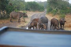 DSC_0028 (graceesimp) Tags: olpejeta capebuffalo buffalo