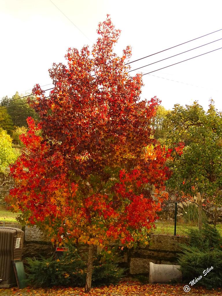 Águas Frias (Chaves) - ... árvore vestida com cores outonais ...