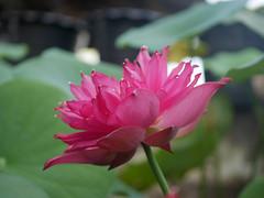 Nelumbo nucifera 'Russell' Wahgarden Thailand 24 (Klong15 Waterlily) Tags: russell nelumbo sacredlotus lotus lotusflower flower landscape wahgarden