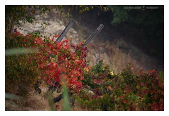 The flame (GP Camera) Tags: nikond7100 nikonafsdx55300mmf4556gedvr countryside campagna vineyard vigneto vine vite leaves foglie red rosso autumn autunno softbackground sfondosoffice darkbackground sfondoscuro bokeh sfocato focus messaafuoco textures trame light luce shadows ombre lightandshadows lucieombre lighteffects effettidiluce allaperto shades sfumature vignetting abstract astratto details dettagli whiteframe cornicebianca italy italia piemonte monferrato darktable gimp opensource freesoftware softwarelibero digitalprocessing elaborazionedigitale
