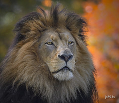 The Lion in Autumn (jt893x) Tags: 150600mm d500 lion male nikon nikond500 pantheraleo portrait sigma sigma150600mmf563dgoshsms specanimal