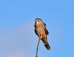 Kestrel - Taken on the Woodford Road, Great Addington, Northants. UK (Ian J Hicks) Tags: