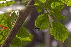 Hola hormiga!!! / Hi ant! (Wal Wsg) Tags: holahormiga hiant hormiga ant animal insecto insect mundoanimal animalworld natural naturaleza naturale dia day macro closeup argentina argentinabsas provinciadebuenosaires loscardales altosloscardales canoneosrebelt3 phwalwsg colors colores color hojas