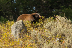 Berry Beary {Explored} (ChicagoBob46) Tags: cinnamonblackbear blackbear bear cinnamon yellowstone yellowstonenationalpark nature wildlife explore explored coth5