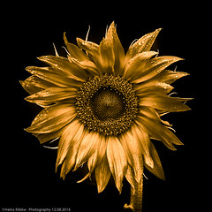 golden sunflower (H.Roebke) Tags: sonnenblume black de colorkey color abstrakt abstract nature lightroom germany canonef70200mmf28lisiiusm gold sunflower canon7dmkii natur 2016