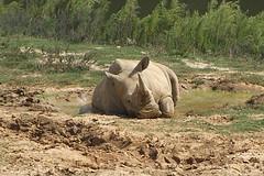 spa day (ucumari photography) Tags: ucumariphotography white rhinoceros rhino rhinocerotidae oddtoedungulate animal mammal nc zoo north carolina september 2017 dsc5121 specanimal