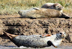 A lazy day. (pstone646) Tags: seals nature animals wildife seashore mammals pegwell kent water resting fauna trio