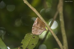 PAPALLONA CAMUFLADA (Tailàndia, agost de 2017) (perfectdayjosep) Tags: butterfly papallona perfectdayjosep thailand tailàndia parcnacionalkhaoyai khaoyainationalpark