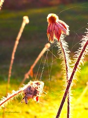 Bonding (evakongshavn) Tags: flora purpleflower flower flowers plant blomster natur nature naturbilder naturephotography naturaleza naturphotography web spidersweb mature withered withering dry petals naturelover