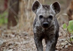 """Hyena • <a style=""""font-size:0.8em;"""" href=""""http://www.flickr.com/photos/152934089@N02/36944298143/"""" target=""""_blank"""">View on Flickr</a>"""