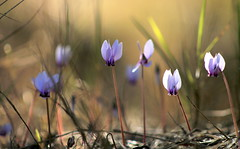 cyclamen (ᙢᗩᖇᓰᗩ ☼ Xᕮᘉ〇Ụ) Tags: morning light greece macro licht morgens cyclamen wildflowers αγριακυκλαμινα moments momente colours farben αγριολουλουδα κυκλαμινα φυση στιγμεσ ελλαδα φωσηλιου πρωι χρωματα ecology environment earth mariaxenou physis