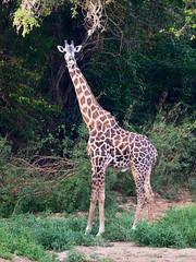 Tanzania '14_1523 (Jimmy Vangenechten 76) Tags: geo:lat=779995900 geo:lon=3793386700 geotagged tanzania africa afrika wildlife safari animal dier selousgamereserve rufijiriver masaigiraffe giraffatippelskirchi giraffacamelopardalistippelskirchi masaigiraf