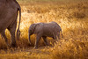 An intimate Love ... (Beppe Rijs) Tags: africa afrika baby elefant serengeti tansania tanzania child elephant animal love mother sun sundown drive